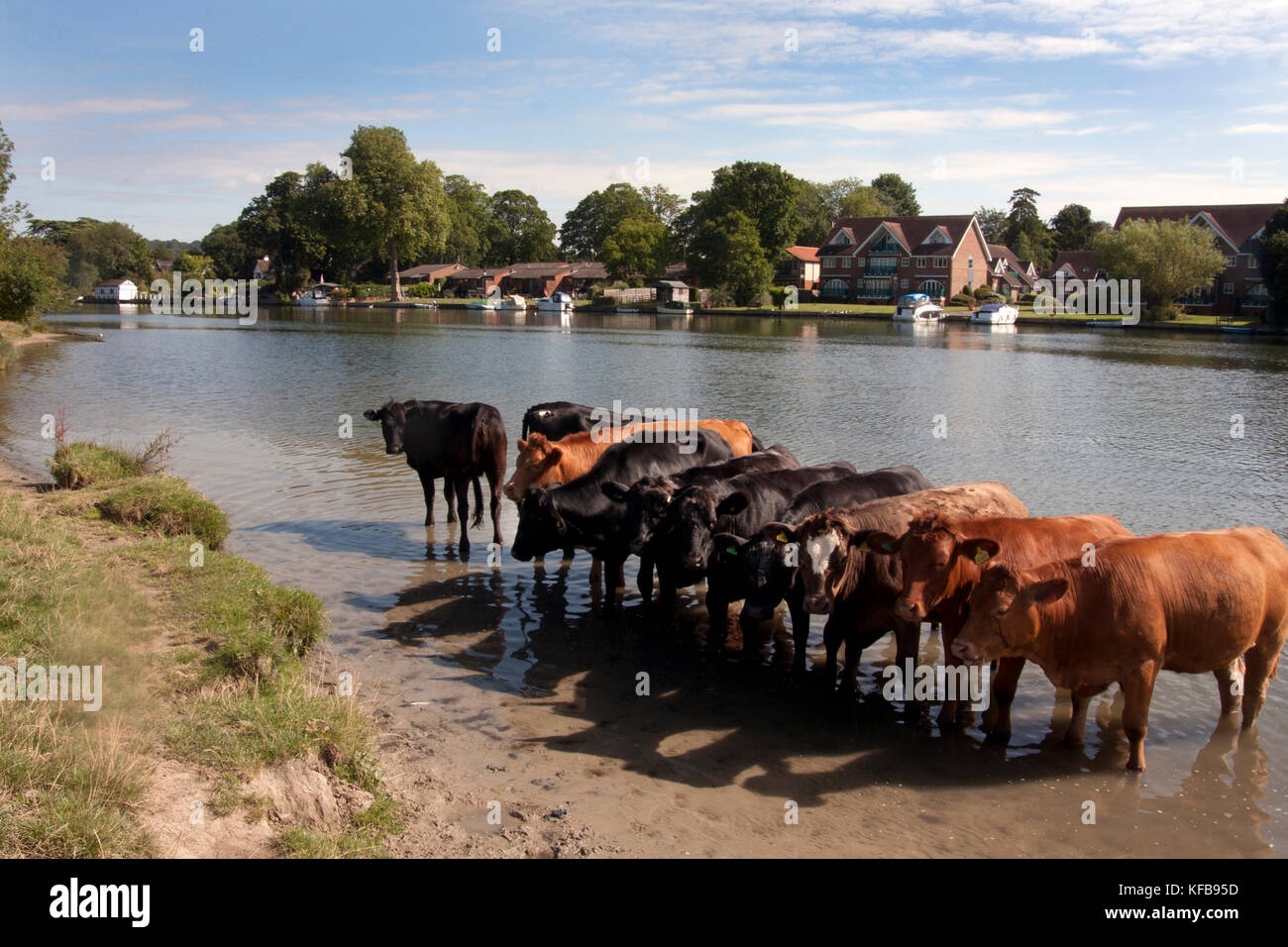 herd of cows bathing in the River Thames at Cookham near High Wycombe, Buckinghamshire, England - Stock Image
