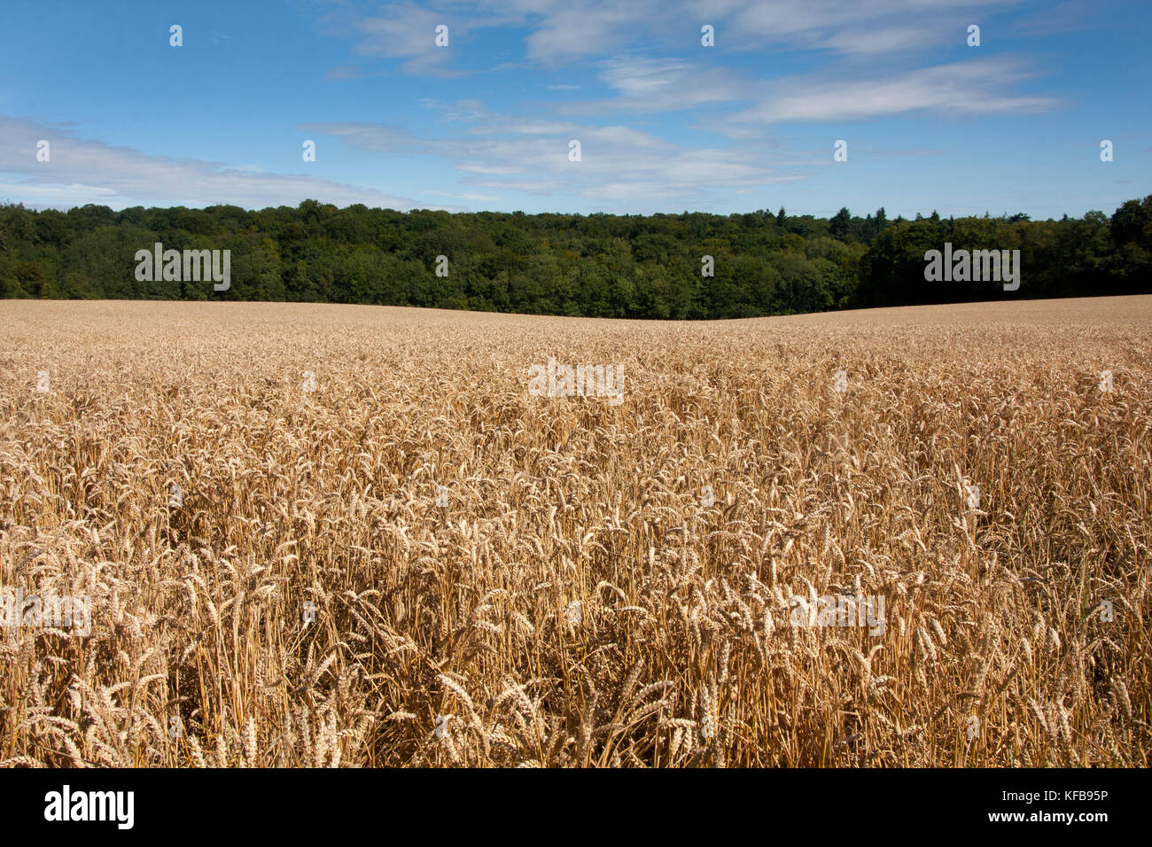 Wheatfiields in the Chilterns at  Tylers Green, Buckinghamshire, England - Stock Image
