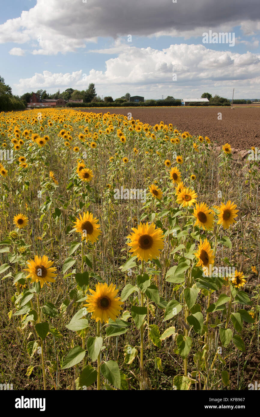 Field margin of sunflowers (Helianthus Annuus), Barrrow in Humber, Lincolnshire - Stock Image