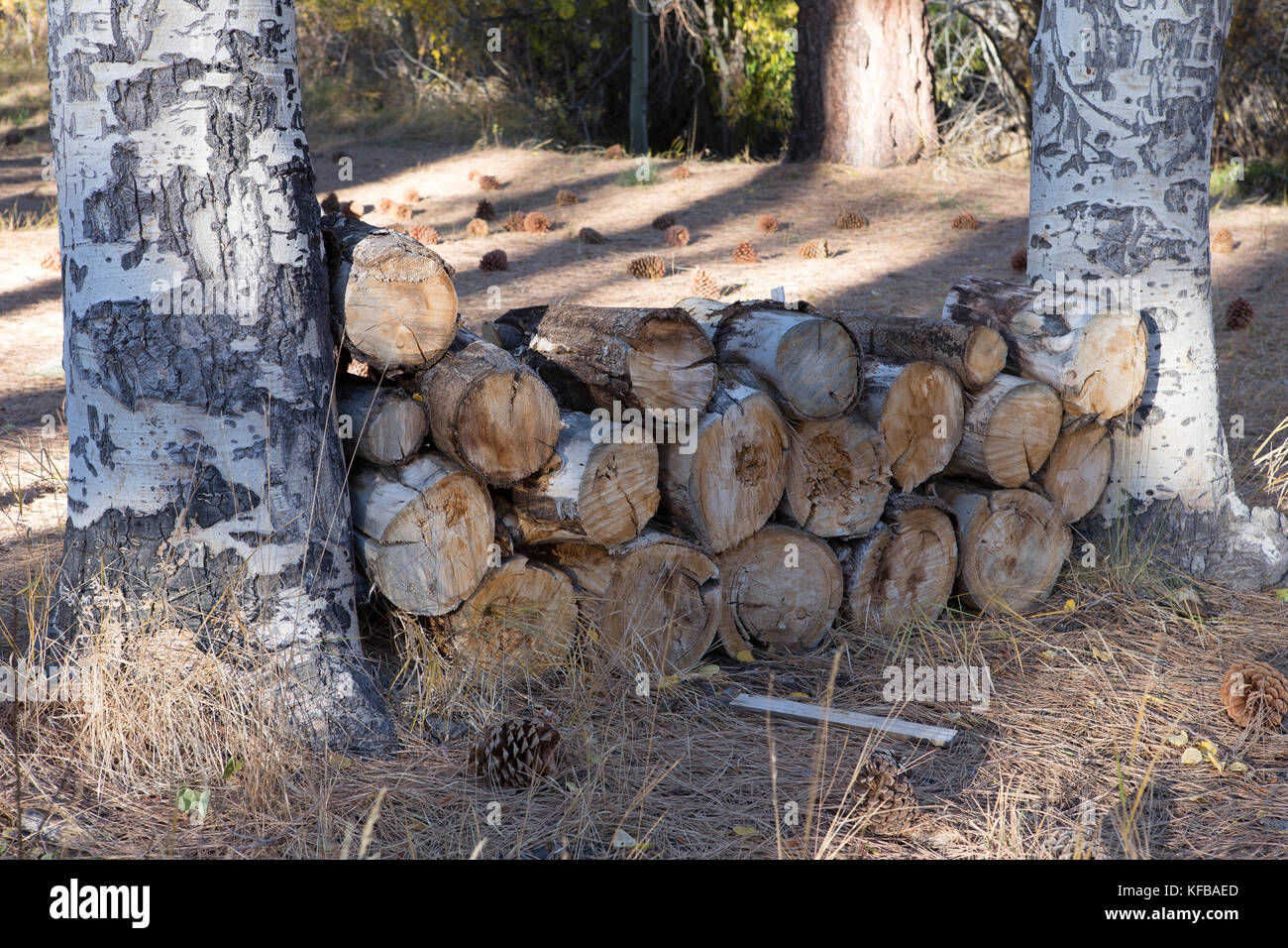 Firewood Woodpile between two trees on a forest floor Stock Photo
