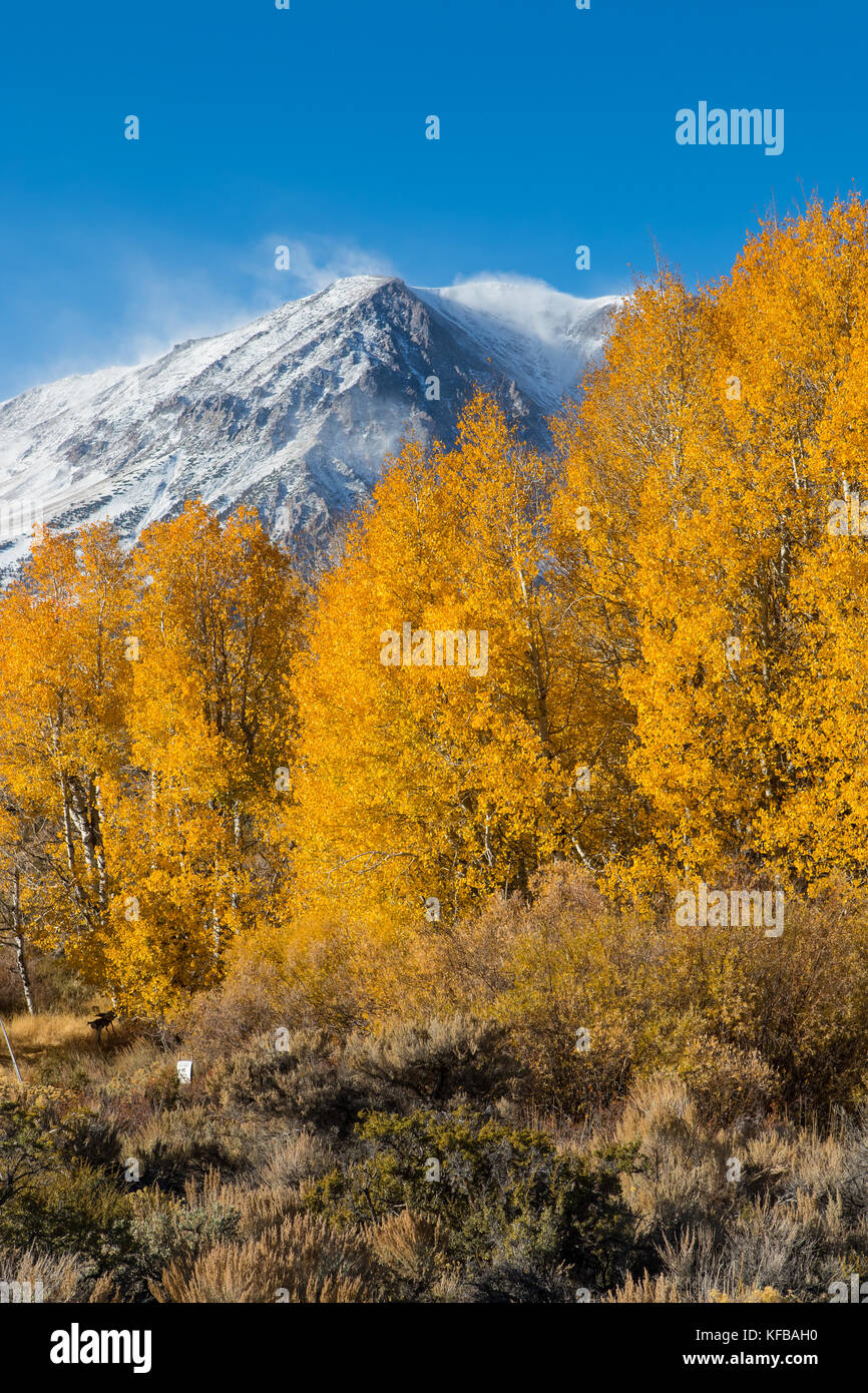 Fall and autumn color. Golden Aspen trees and snow capped  mountain peaks as fall comes to the Eastern Sierra Nevada - Stock Image