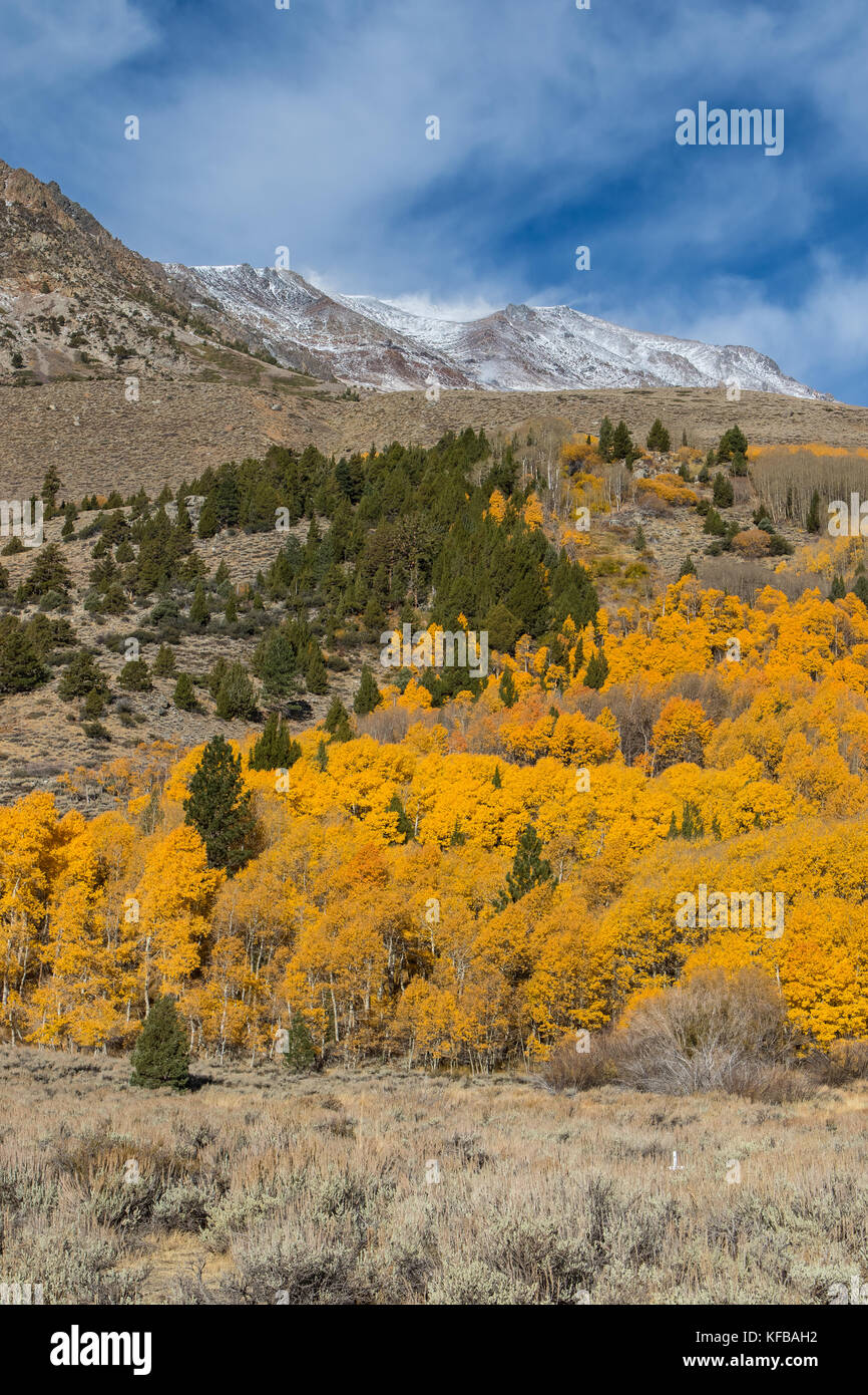 Fall and autumn color. Golden Aspen trees and snow covered mountain peaks as fall comes to the Eastern Sierra Nevada - Stock Image