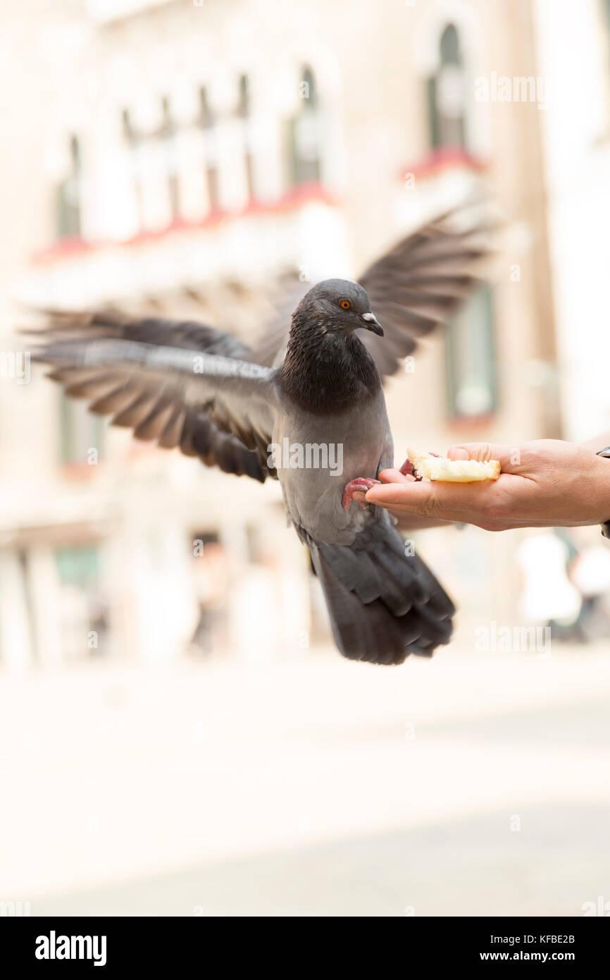 Italy, Venice, feeding pigeons. - Stock Image