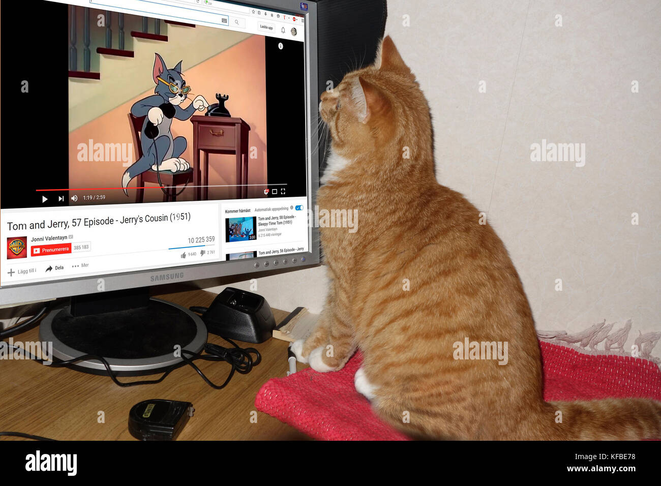 A ginger tabby cat watches animated Tom & Jerry on YouTube - Stock Image
