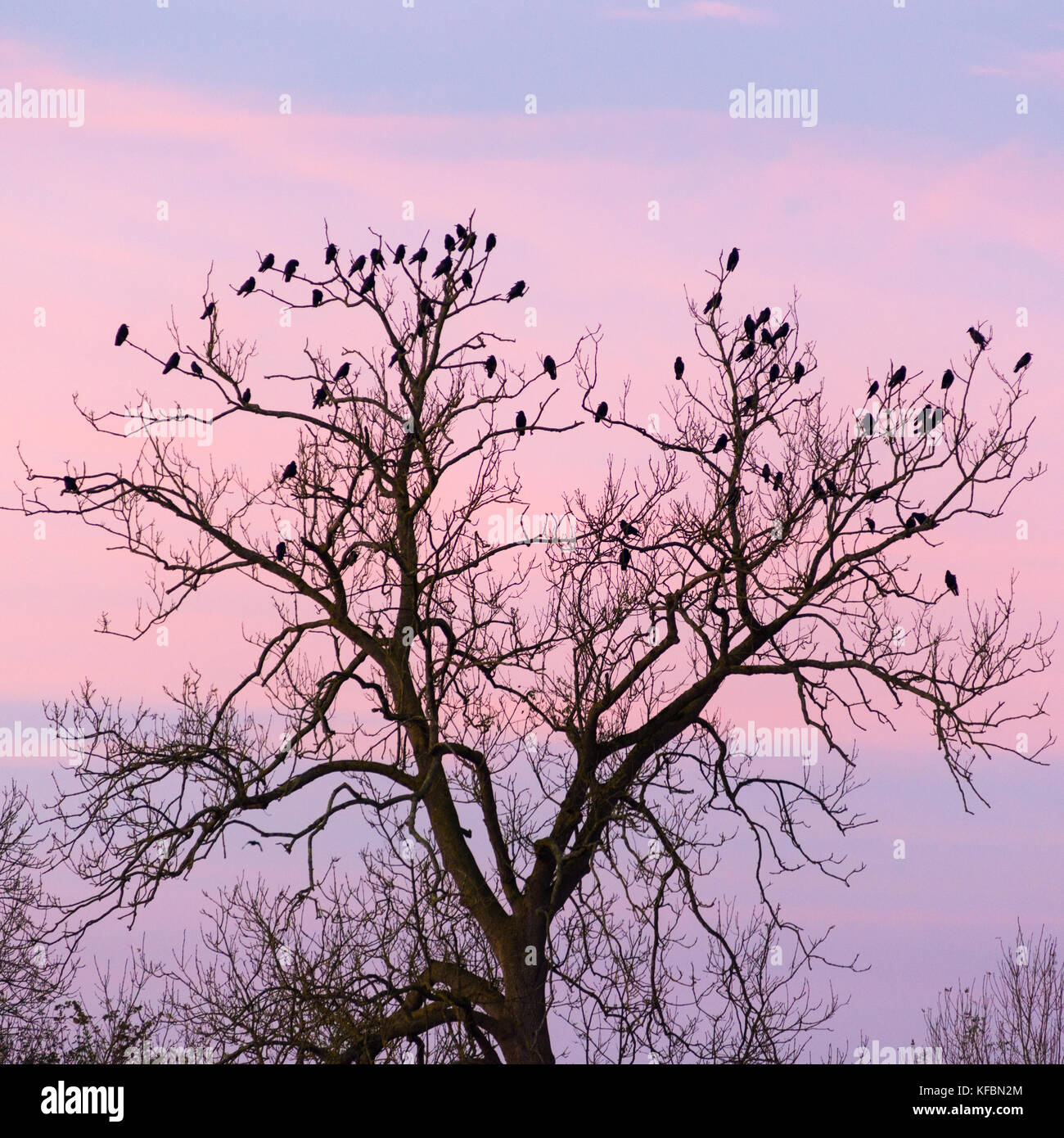 Avon Valley, Fordingbridge, New Forest, Hampshire, UK, 27th October 2017. Birds gather in a tree top on a cool, Stock Photo