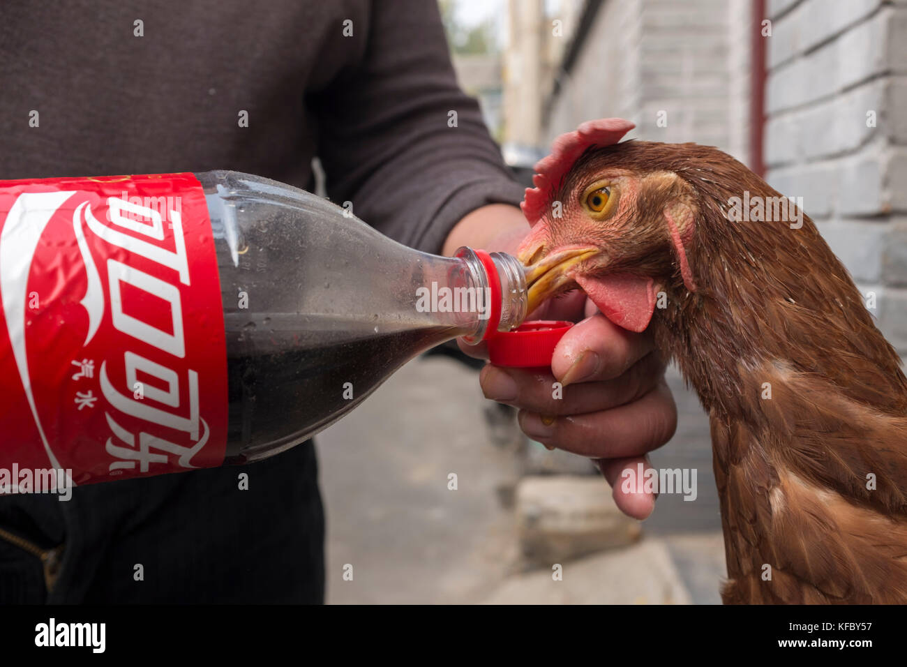 Beijing, China. 27 October, 2017. Mr. Guan Jialiang, a 60 year old retired worker, feeds his pet hen named Dahuang - Stock Image