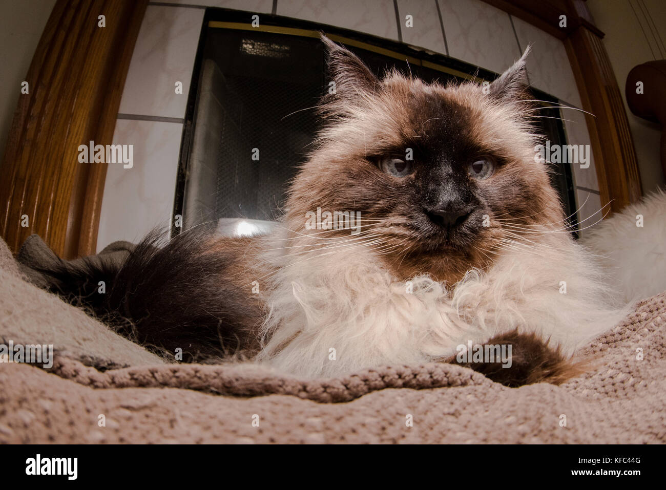 A beautiful Himalayan siamese cat in the living room. - Stock Image