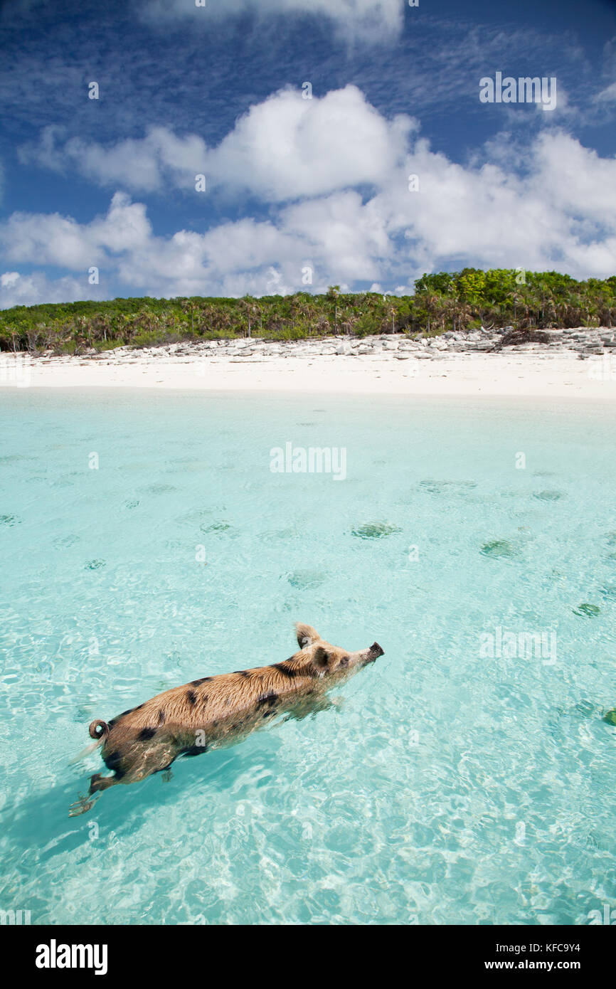 EXUMA, Bahamas  Swimming pigs at Big Major Cay Stock Photo