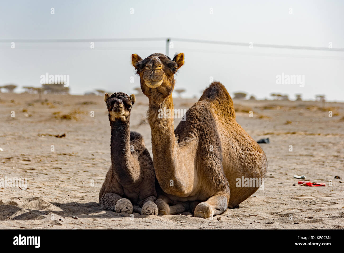 Camel mother and offspring kneeling in desert. Midmorning on camel ranch north of Jeddah (JIddah) city, Makkah (Mecca) - Stock Image