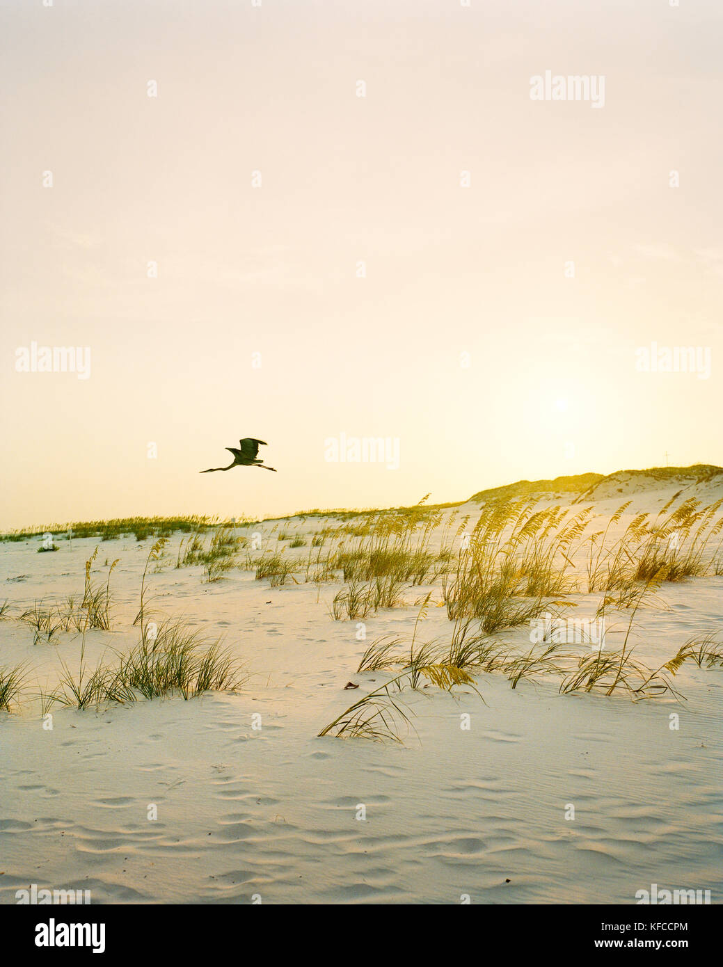 USA, Florida, Great Egret flying over desert at dusk, Destin - Stock Image