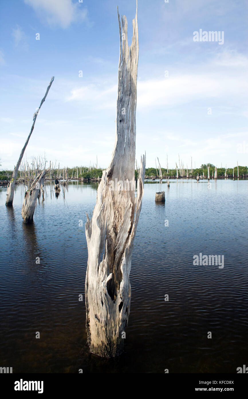 INDONESIA, Mentawai Islands, Kandui Resort; a dead forest of trees amidst the mangroves - Stock Image