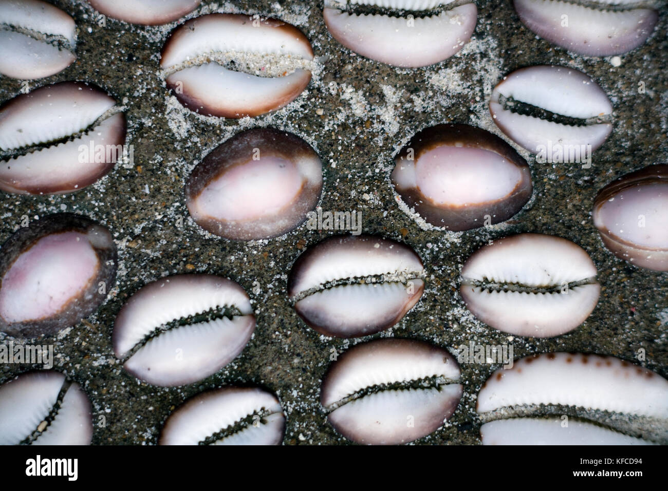 INDONESIA, Mentawai Islands, close-up of Cowrie Shells - Stock Image