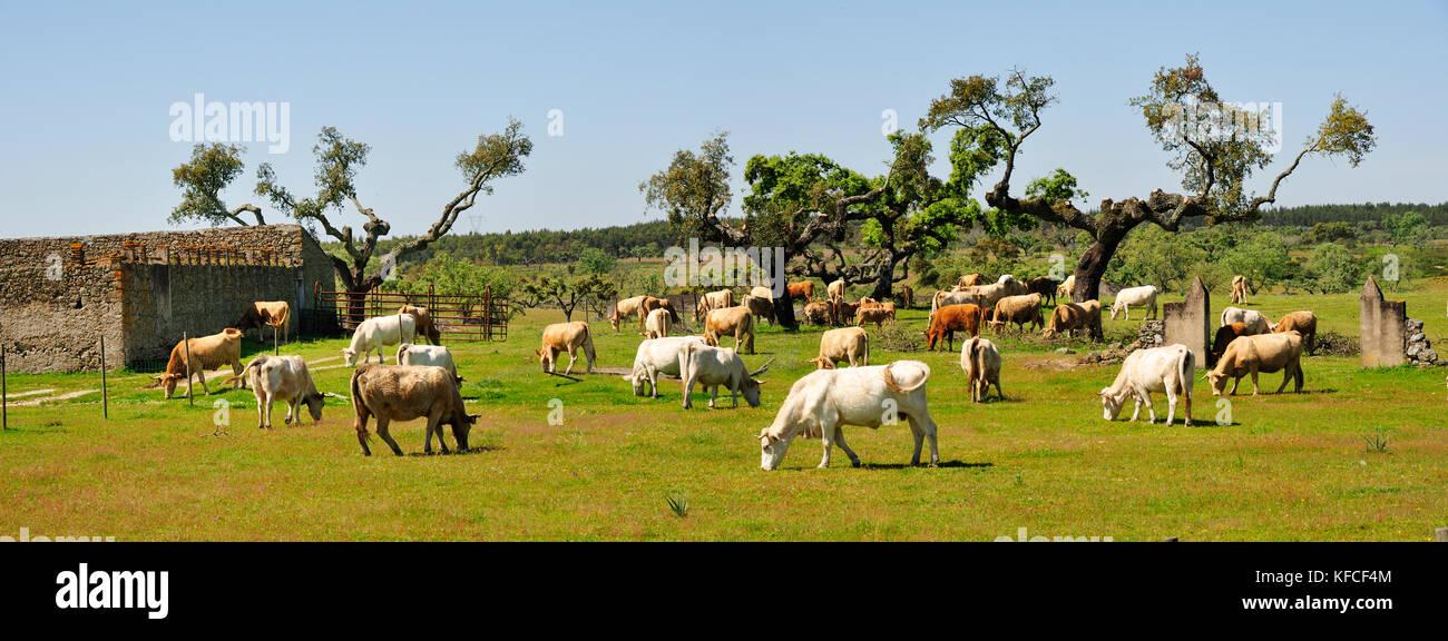 Cork trees and cattle grazing in Alentejo. Alpalhão, Portugal Stock Photo