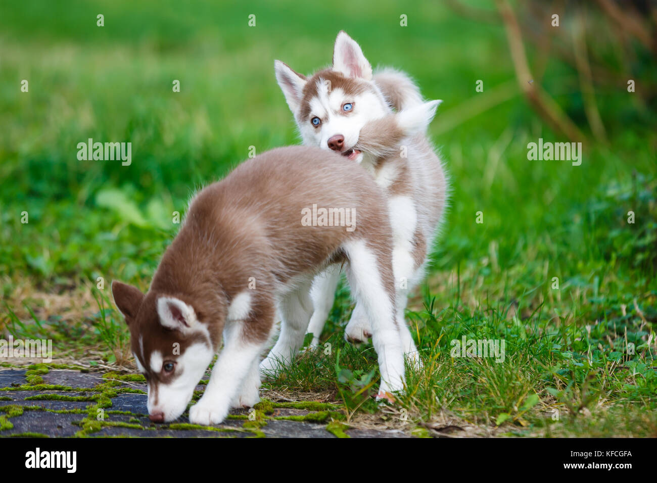 Little Husky Puppy Bites Another Puppy By The Tail Stock Photo