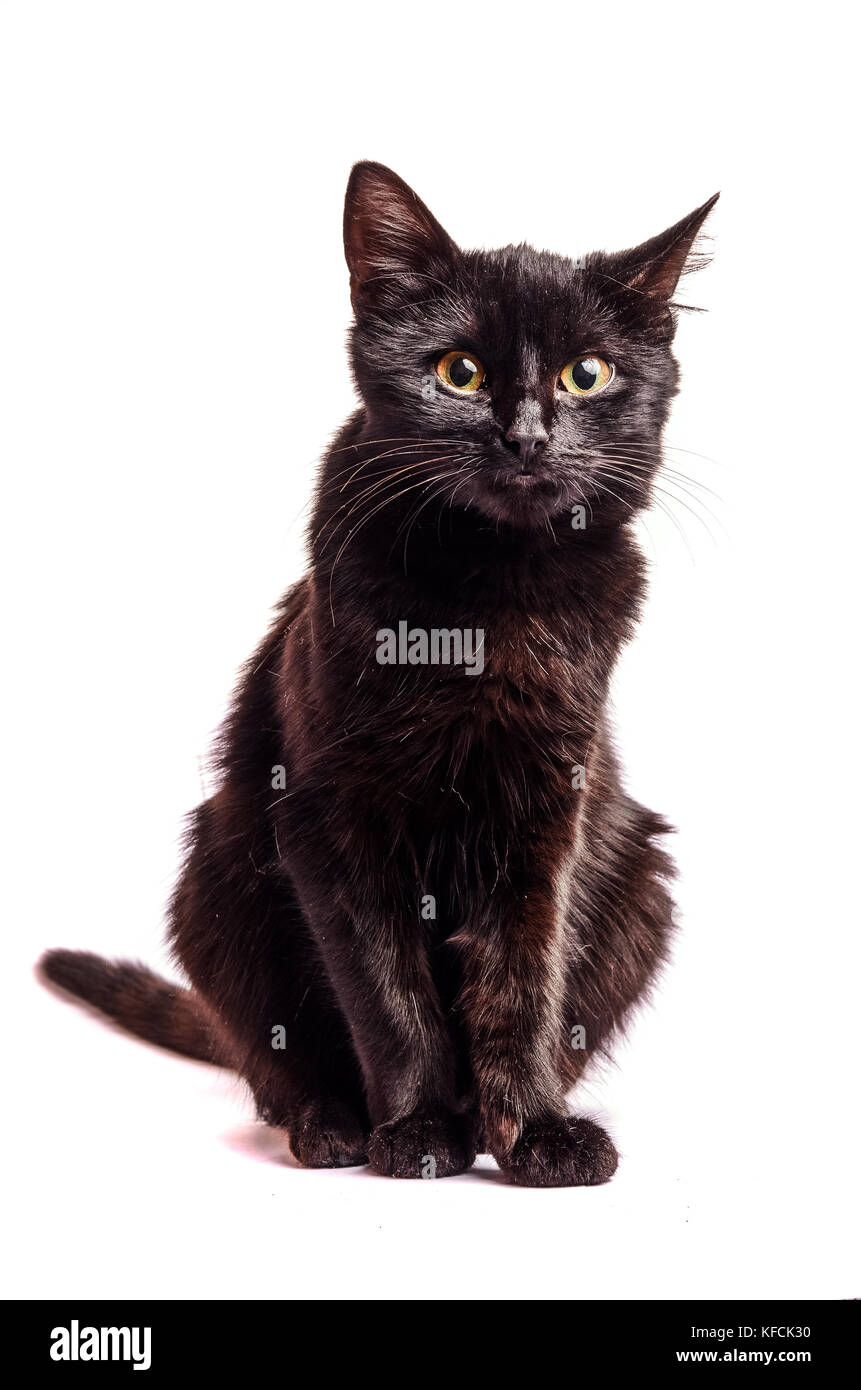 Black Cat sitting and looking at the camera, isolated on white - Stock Image