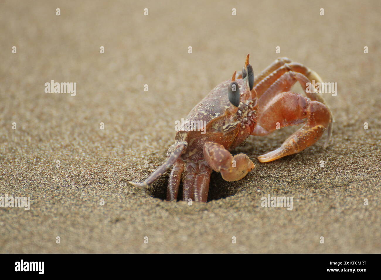 Ghost crab (Ocypode sp.) close up, hiding in his hole in the sand. Ballena National Park, Costa Rica. Stock Photo