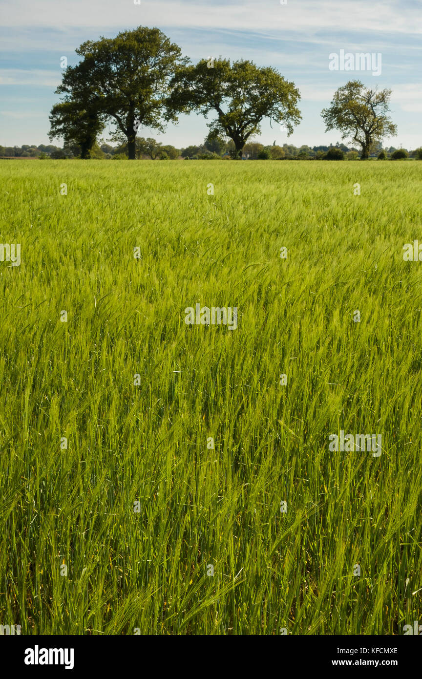Suffolk. England, UK.  A fresh spring crop is light green growing in a field with a group of three large trees on Stock Photo