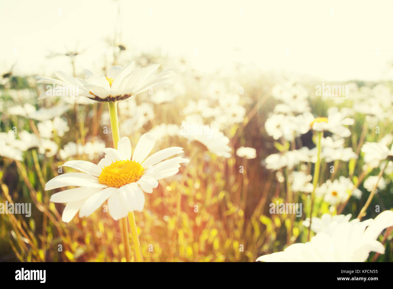 Leucanthemum vulgare or Oxeye daisy (Ox-eye daisy) beautifully backlit with the sun and growing wild in nature. - Stock Image