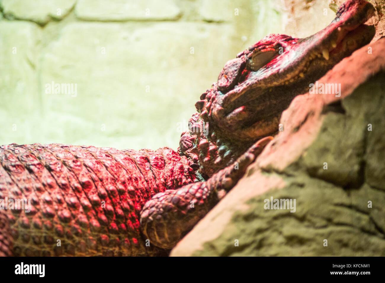 Spectacled caiman, Caiman crocodilus, single animal head shot under an infrared lamp , Brazil - Stock Image