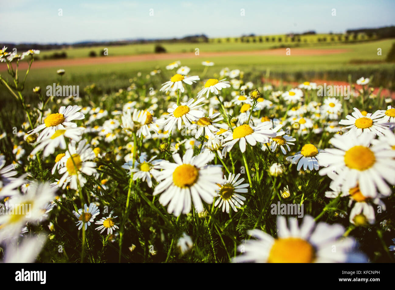 Oxeye daisy (Ox-eye daisy) or Leucanthemum vulgare. Wildflowers growing in cultivated fields. Rural scene and nature - Stock Image