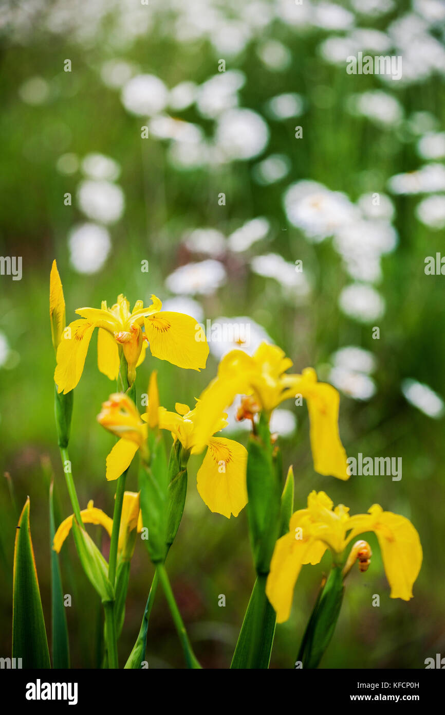 Iris pseudacorus or Yellow Flag Iris growing freely in nature. Beautiful close-up image of beauty in nature with - Stock Image