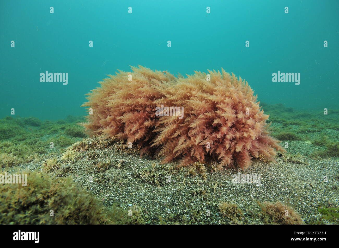 Two round bushes of red seaweed on rock protruding from flat ocean bottom of coarse sand. - Stock Image