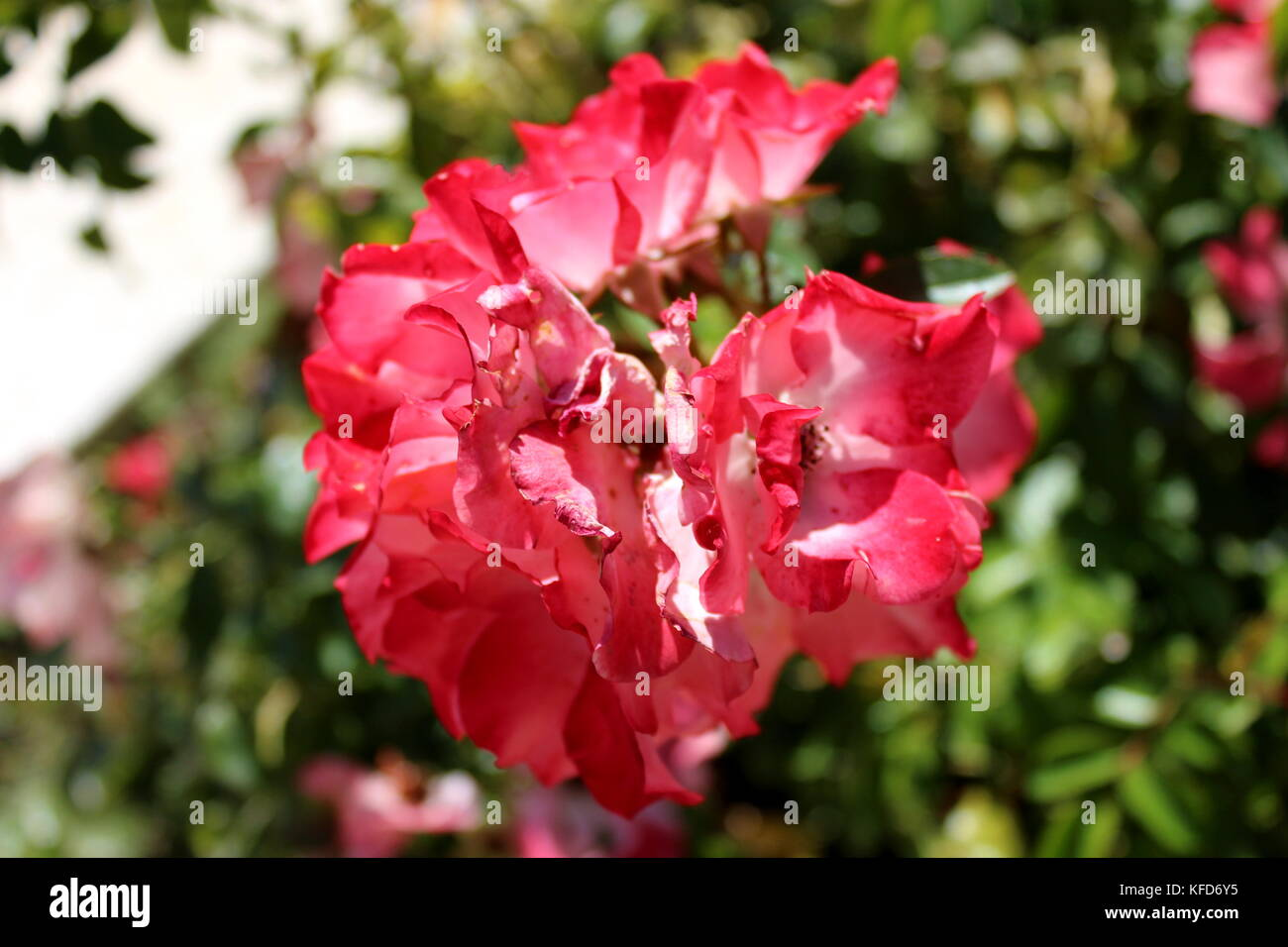 Red rose like flower blooming in front of green leaves and on warm sunny day - Stock Image