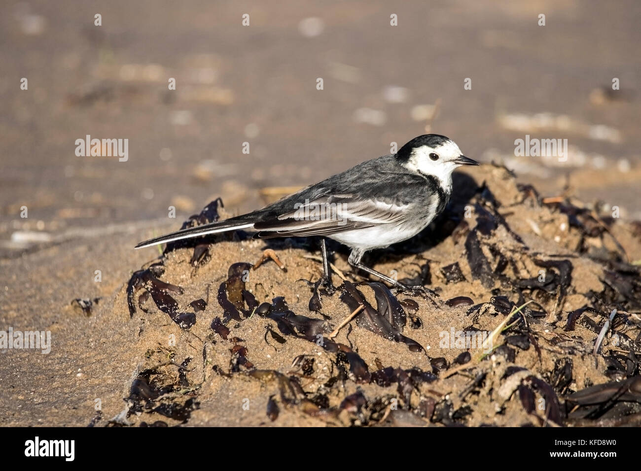 Pied wagtail, A small passerine bird searching for food on the shores of Southport beach in Merseyside - Stock Image