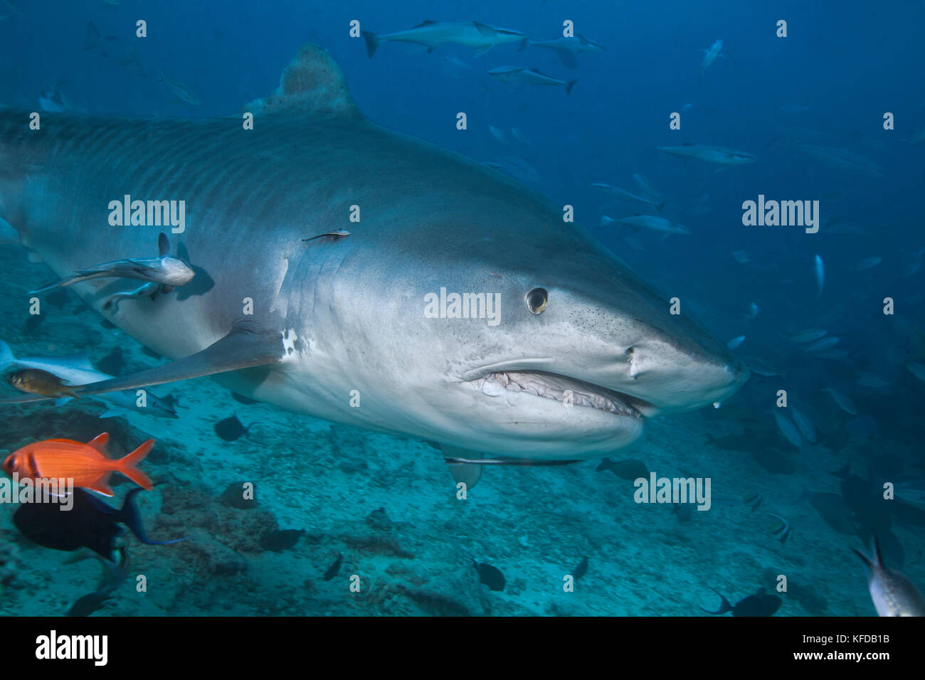 Tiger shark (Galeocerdo cuvier) emerges from murky waters. Beqa Lagoon, Viti Levu, Fiji. - Stock Image