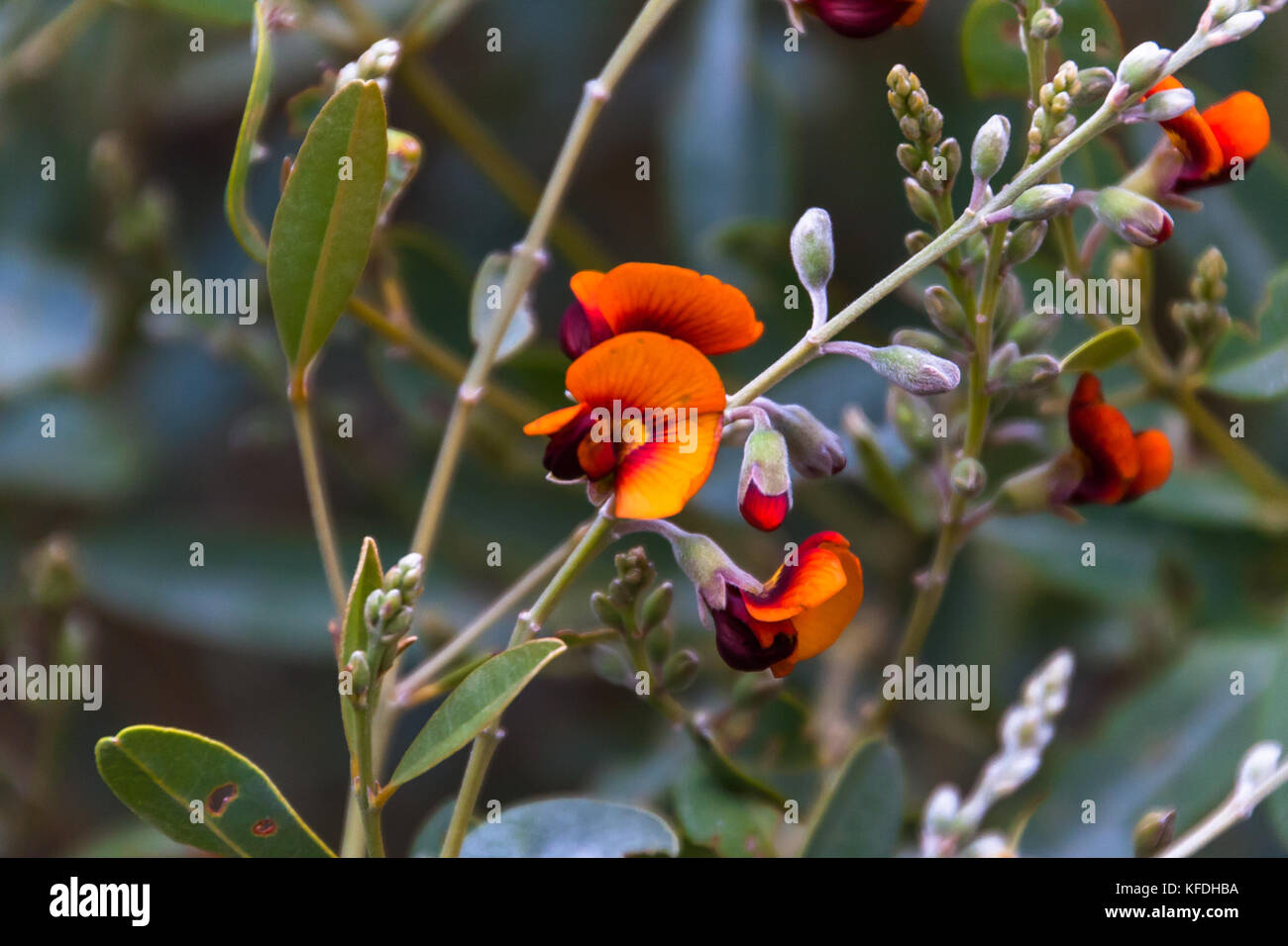 Flowering Chorizema sp., West MacDonnell Ranges National Park, Northern Territory, Australia - Stock Image