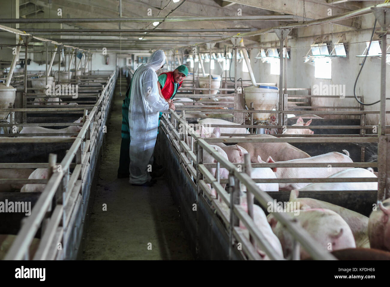 Farmer and veterinarian discussing about animal health on a modern pig farm. Veterinarian doctor examining pigs - Stock Image