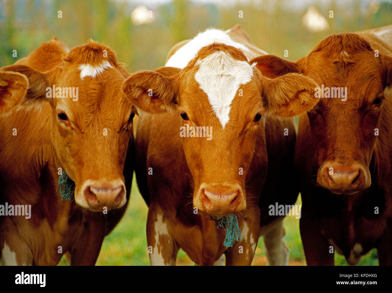 Agriculture. Cattle. Three Guernsey dairy cows close up. - Stock Image