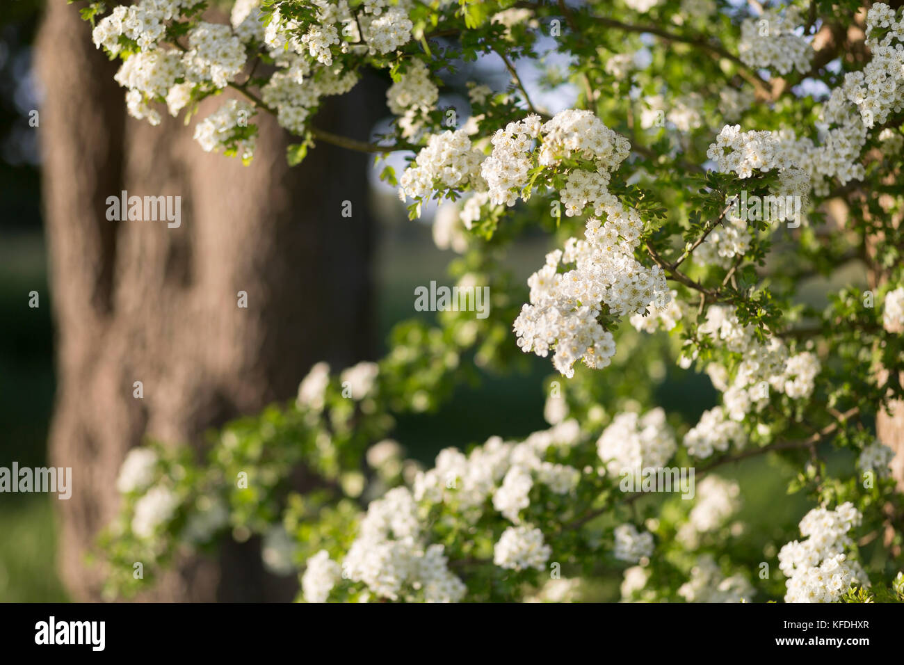 Hawthorn Blossom - Stock Image