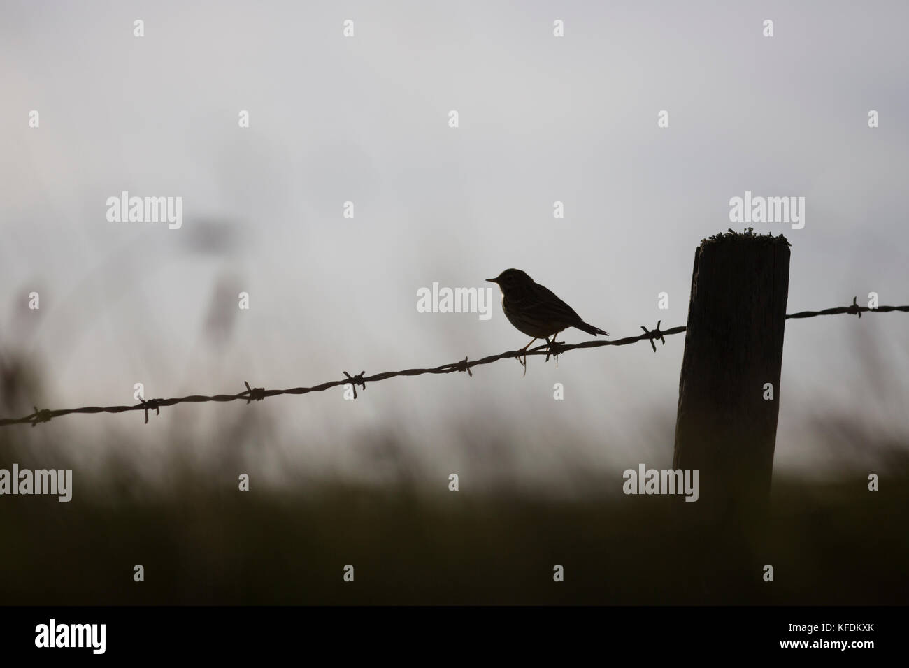 Silhouette Bird Barbed Wire Stock Photos & Silhouette Bird Barbed ...