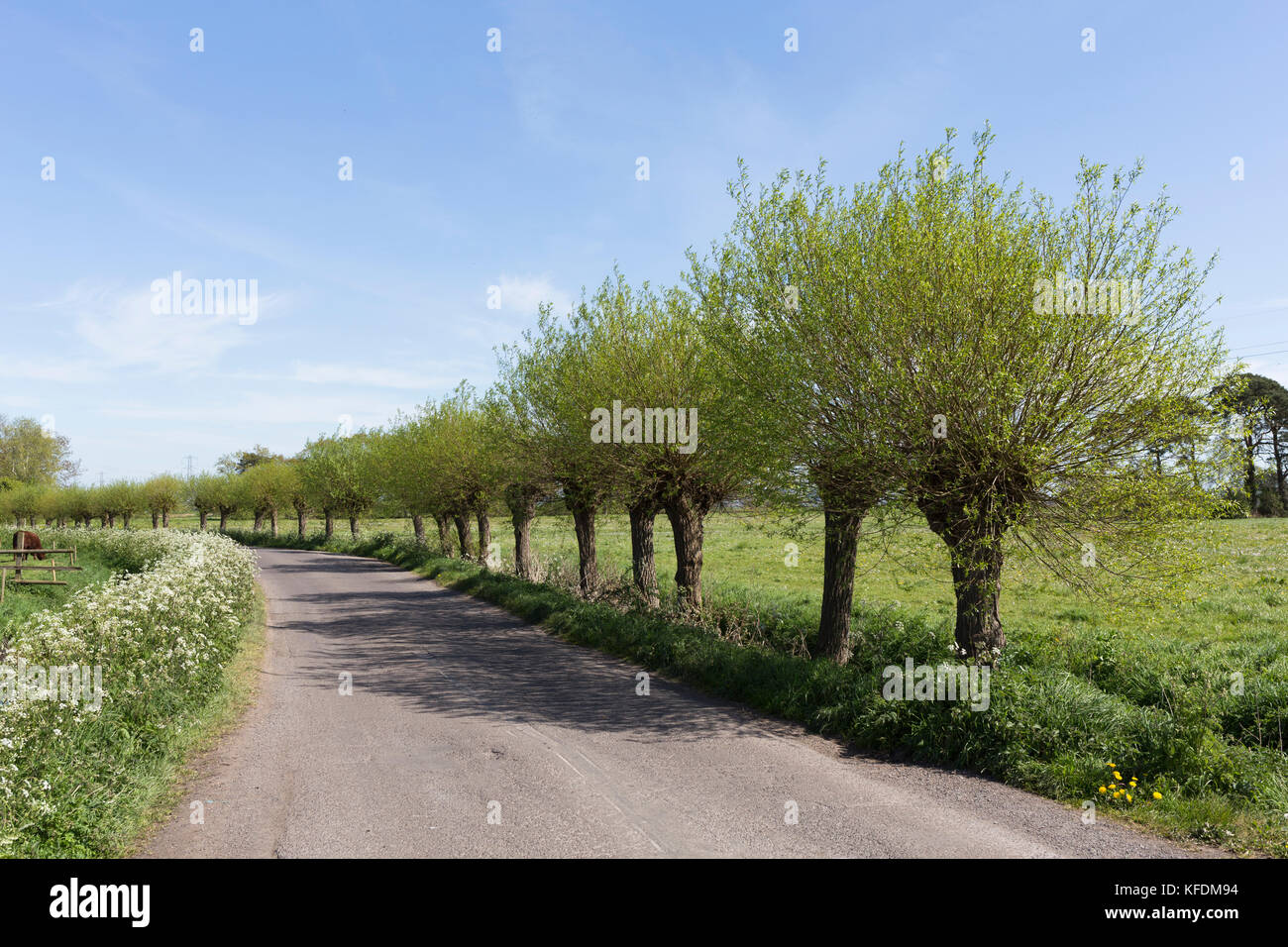 Pollarded Willows along country road, Somerset Levels, UK - Stock Image