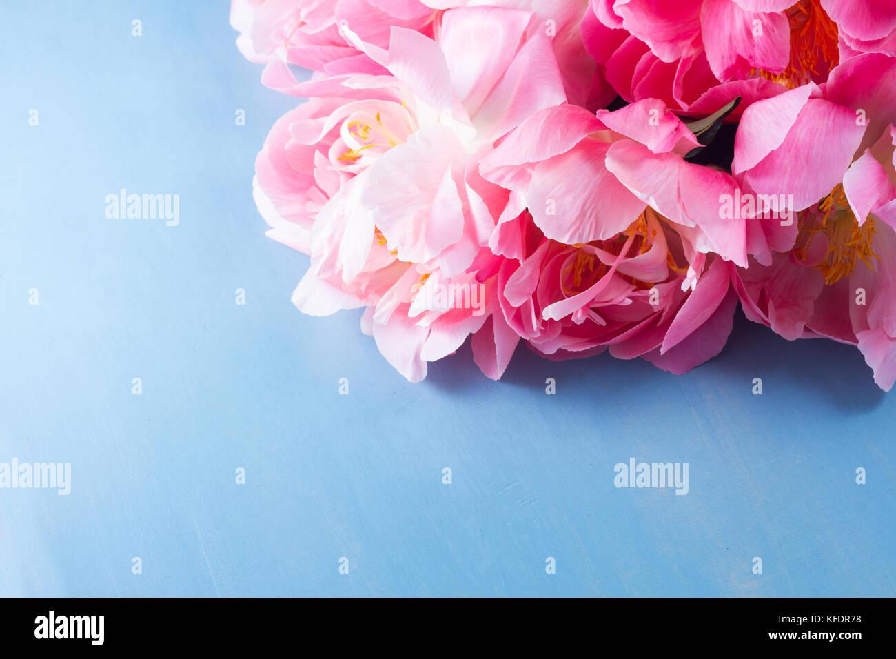 Peony Dark Pink Flowers Bouquet Close Up On Blue Background Stock Photo Alamy