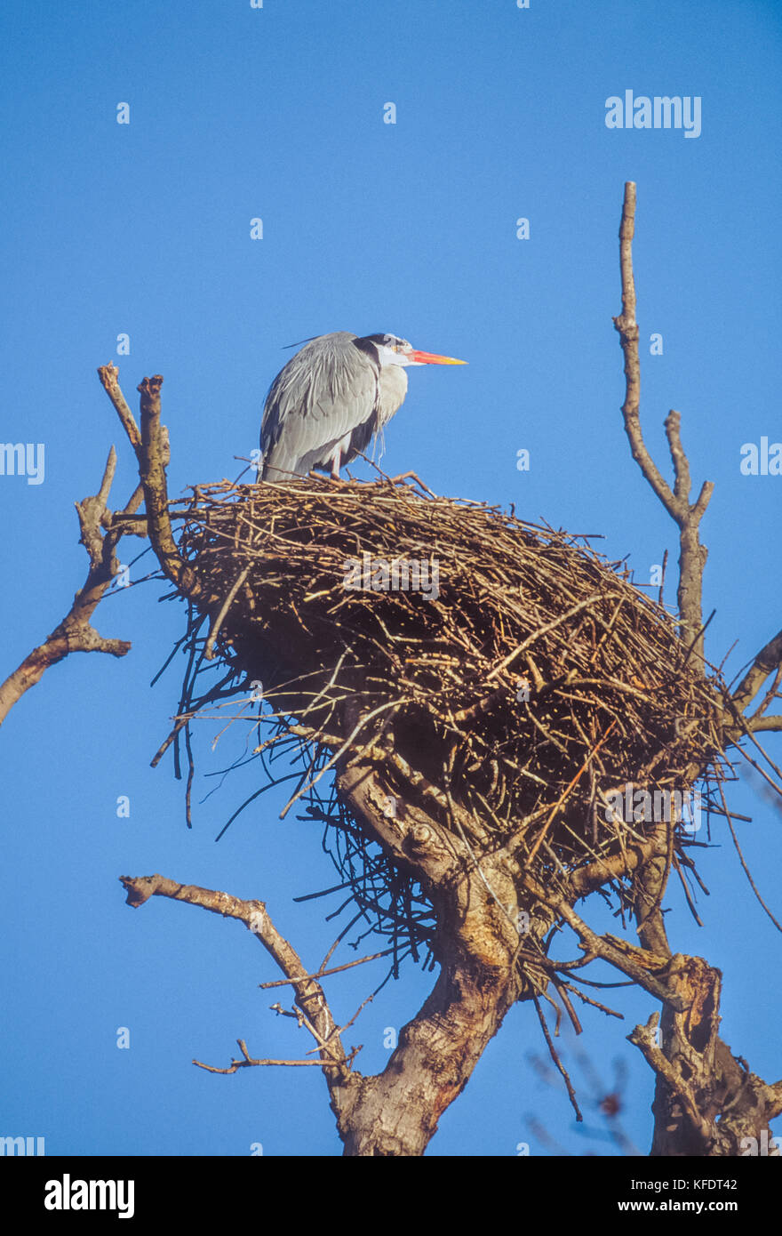 Grey Heron, Ardea cinerea, Regents Park, London, United kingdom - Stock Image