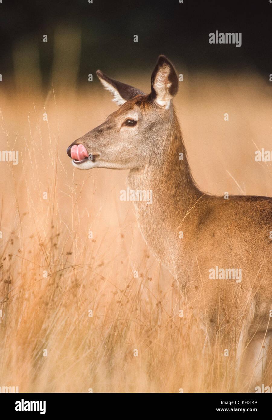 female Red Deer, (Cervus elaphus), hind standing in grasses licking nose during autumn season, Richmond Park, London, - Stock Image