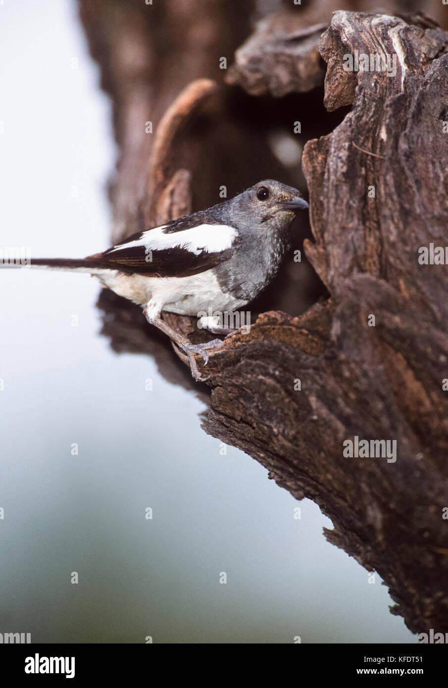 female Oriental magpie-robin (Copsychus saularis), Keoladeo Ghana National Park, Bharatpur, Rajasthan, India - Stock Image