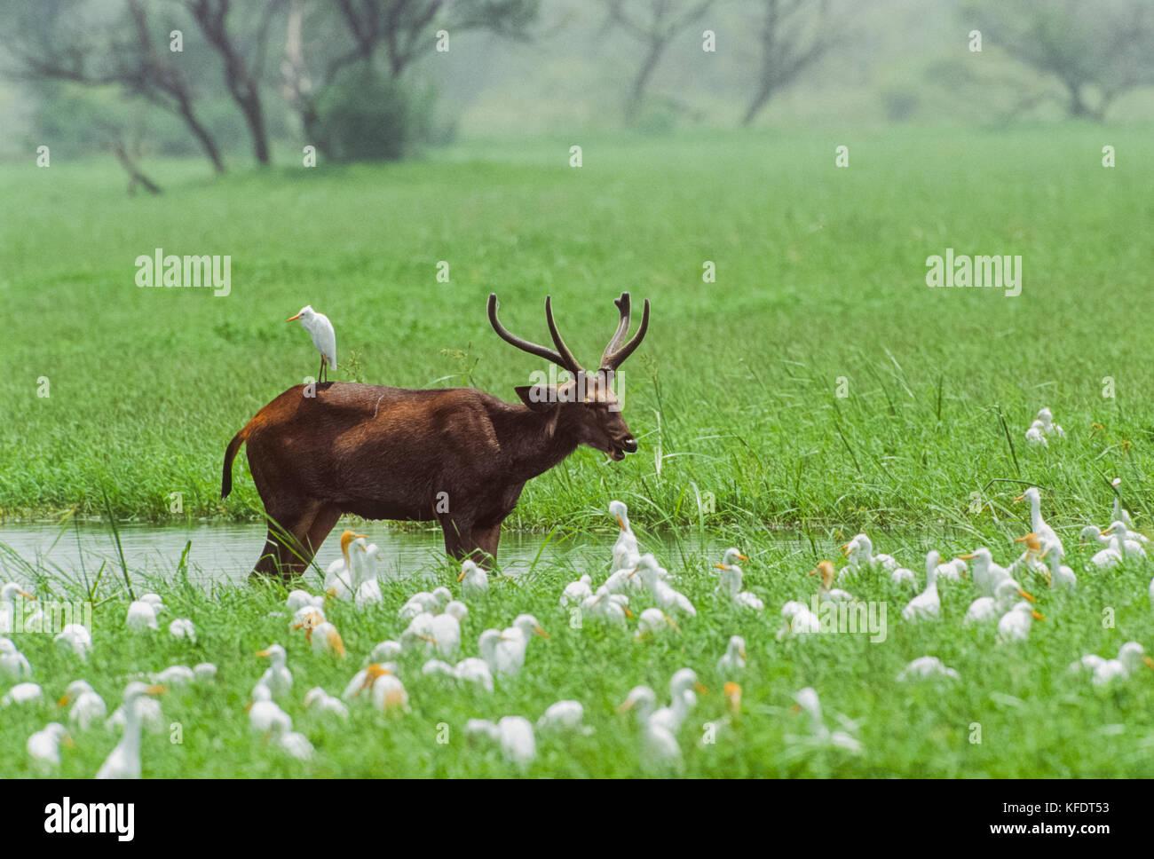 Sambar Deer stag, (Rusa unicolor), Keoladeo Ghana National Park, Bharatpur, Rajasthan, India - Stock Image