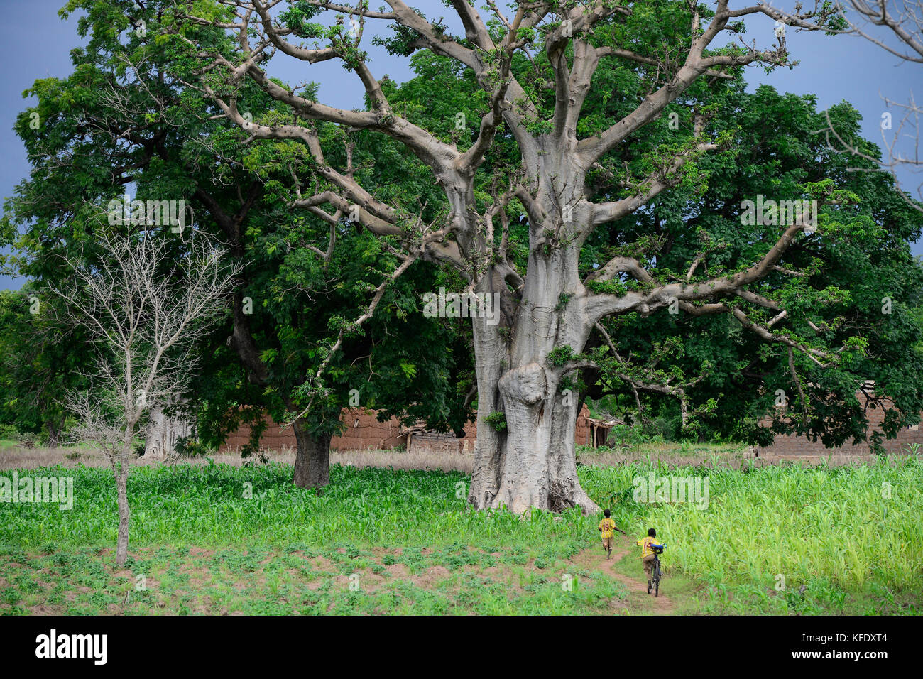 BURKINA FASO, Province Poni, Gaoua, , Baobab tree and maize field in raining season / Baobab Baum und Maisfeld in - Stock Image