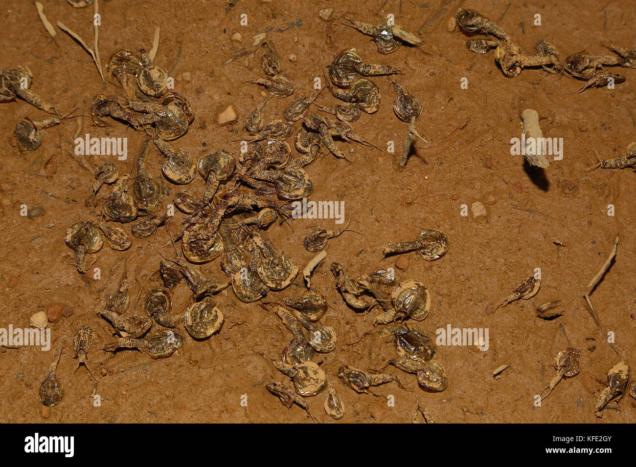 Australian Shield Shrimps Triops Australiensis In Drying Ephemeral Wetland Mount Magnet Pilbara Region Western Australia