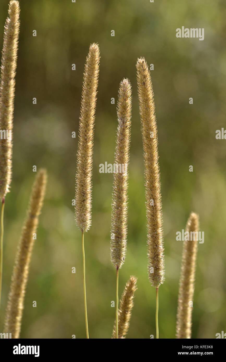 Timothy - Phleum pratense - Stock Image