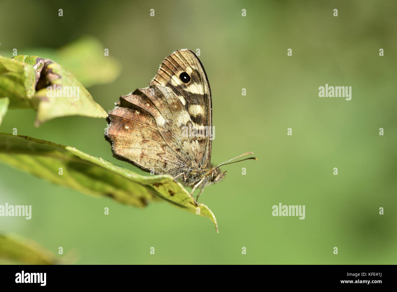 Speckled Wood - Pararge aegeria - Stock Image