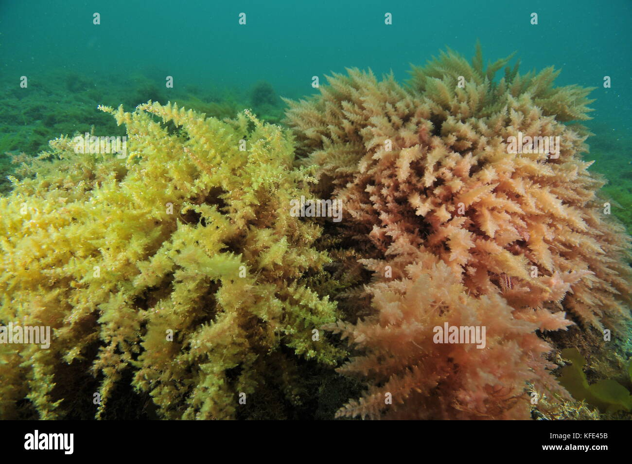 Bushes of yellow and pink seaweeds swirling  in current above flat sea bottom. - Stock Image