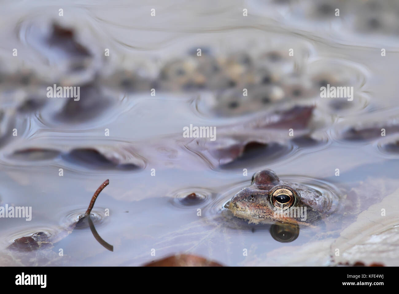 Common frog (Rana temporaria) close to eggs - Stock Image