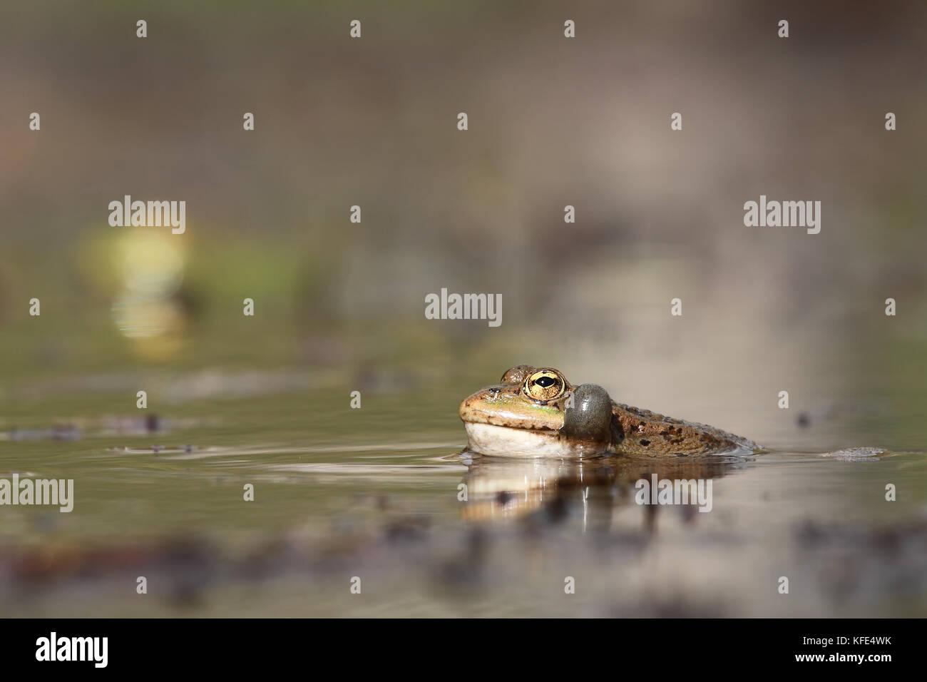 Perez's frog (Pelophylax perezi) croaking - Stock Image