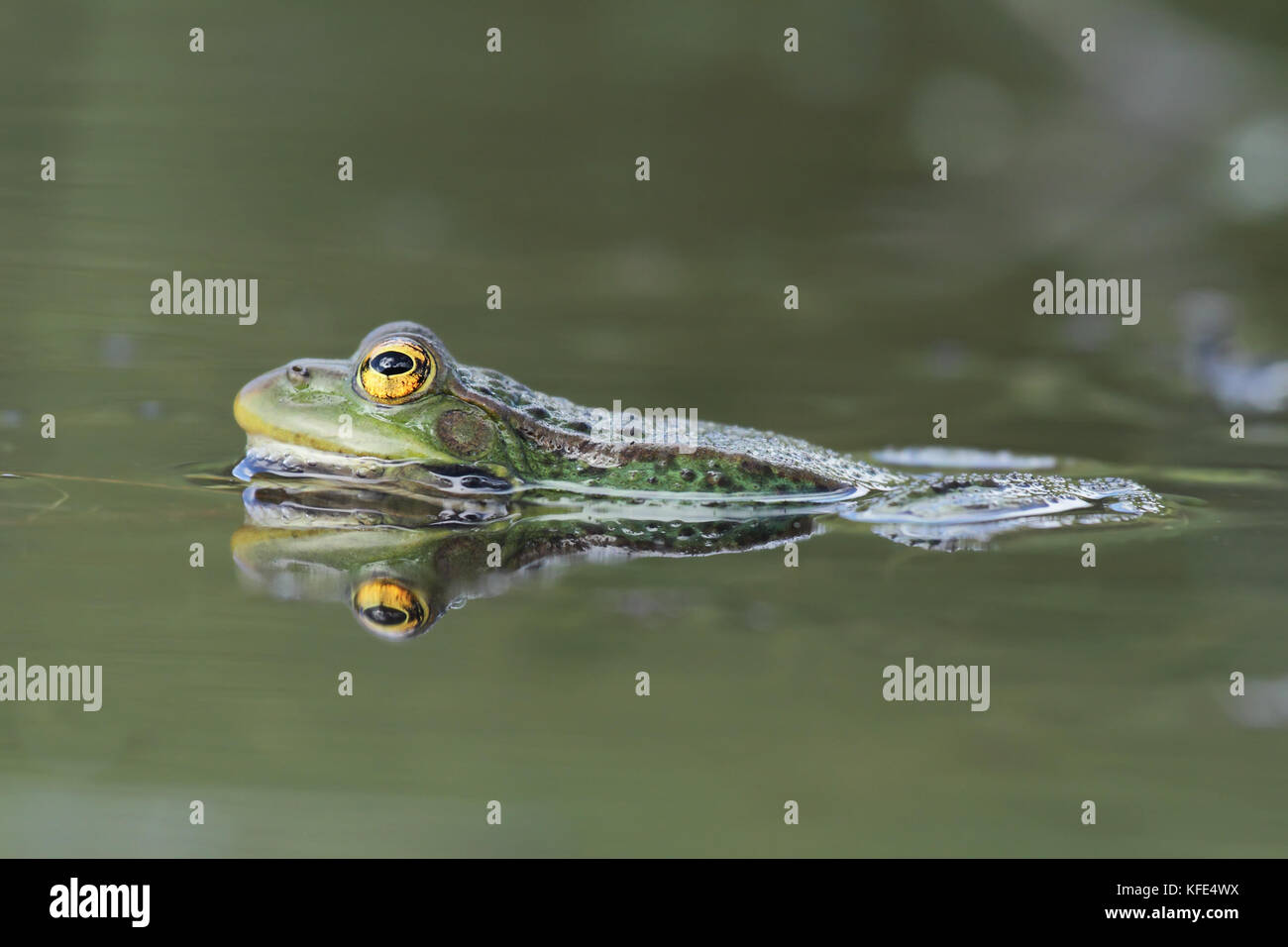 Perez,s frog (Pelophylax perezi) - Stock Image