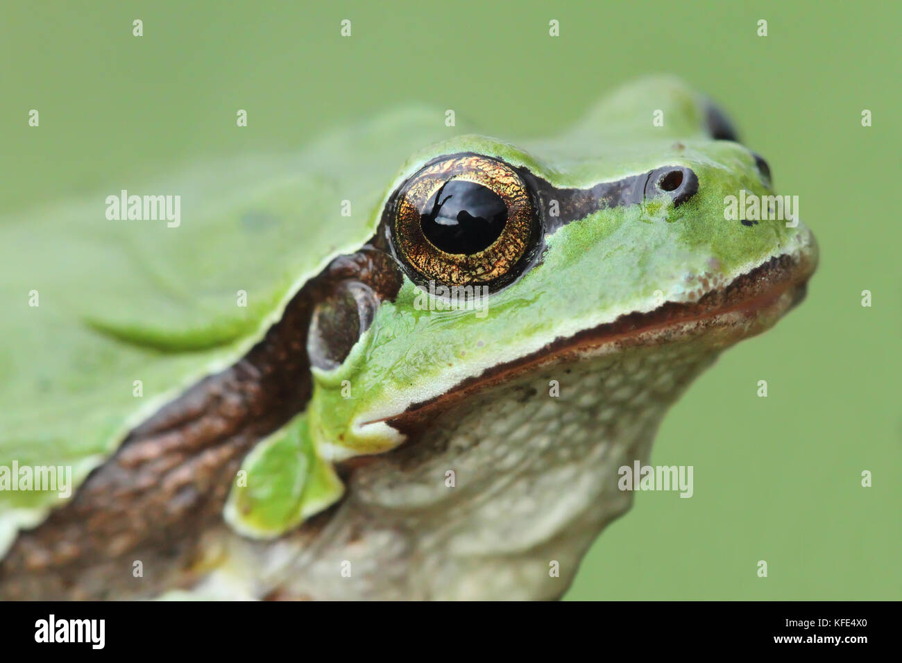 European tree frog (Hyla arborea) head Stock Photo
