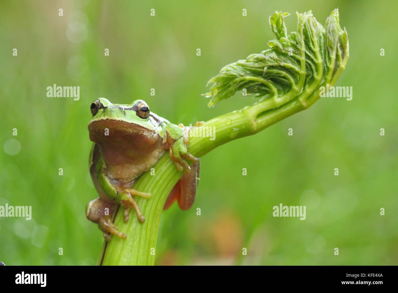European tree frog (Hyla arborea) on a green plant Stock Photo